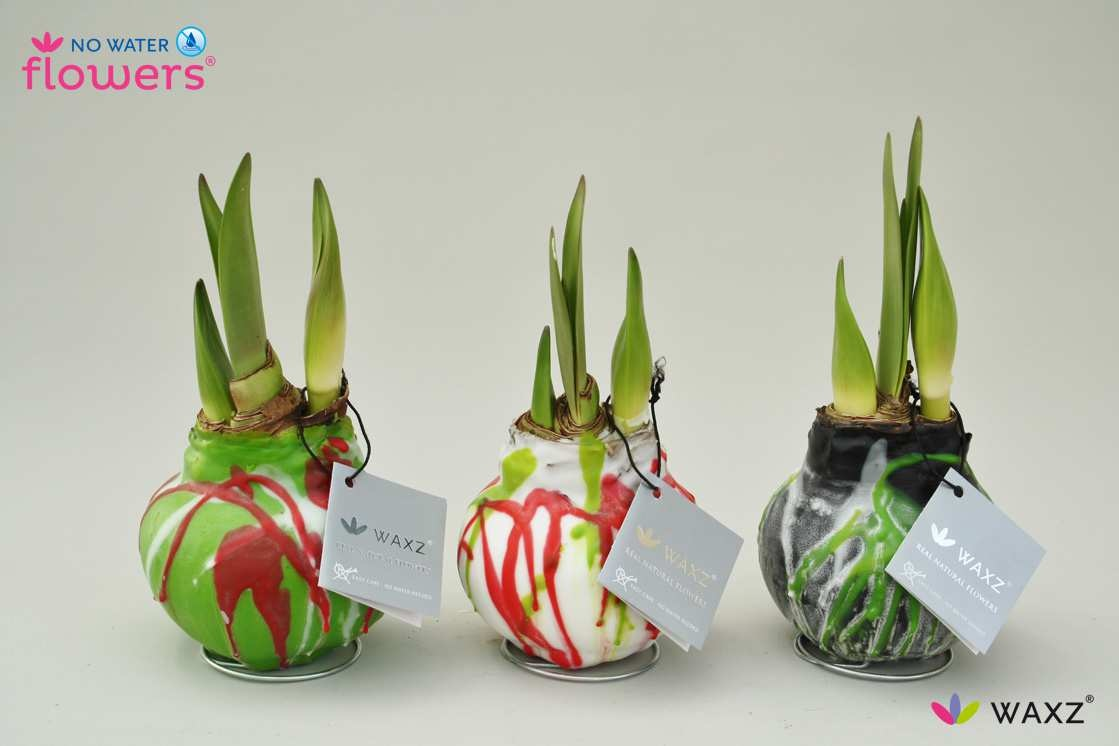 wax covered amaryllis bulbs french gardener dishes. Black Bedroom Furniture Sets. Home Design Ideas
