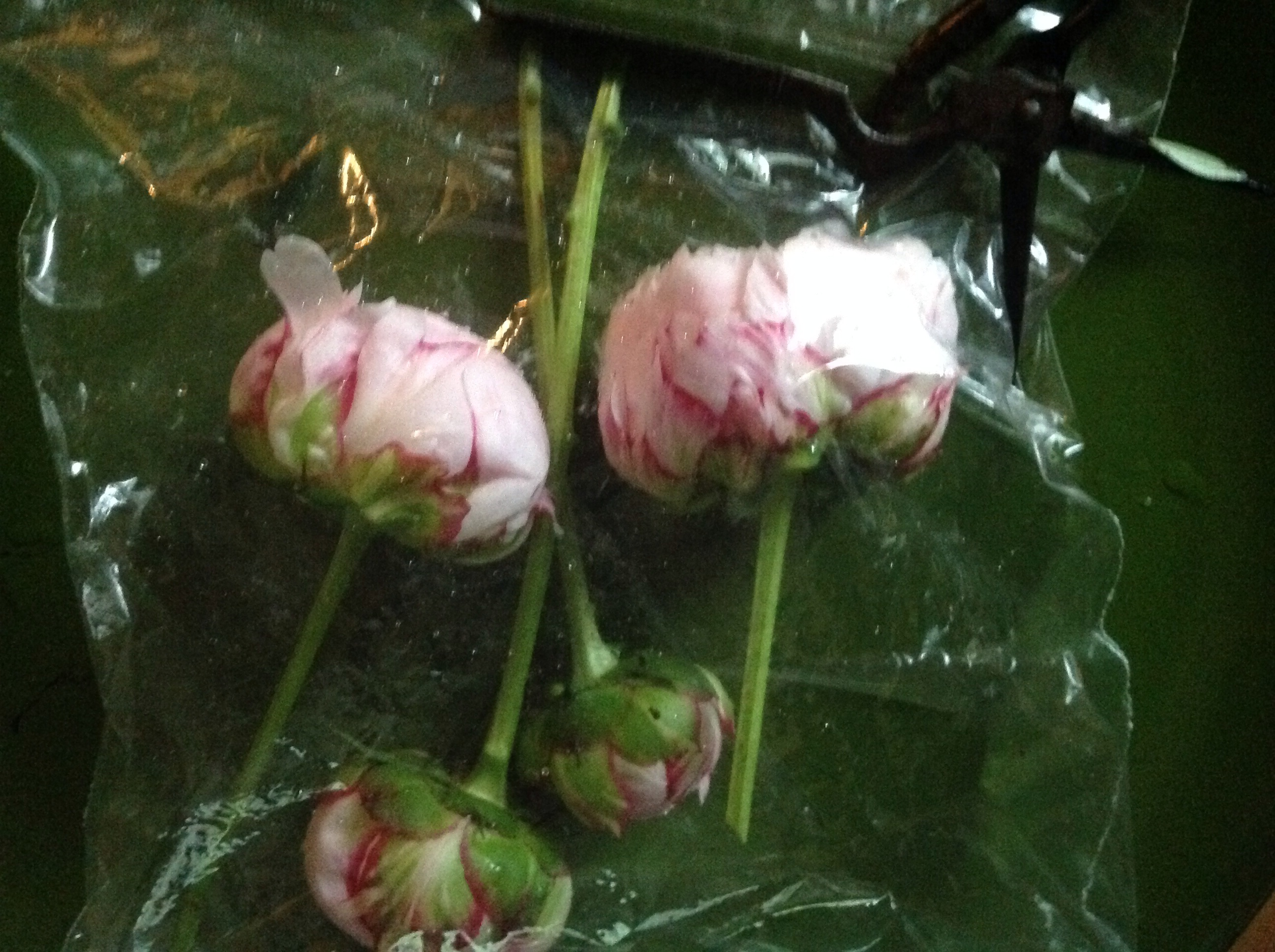 cut peonies going into storage foliage removed in a ziplock bag - How To Cut Peonies
