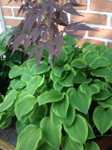 Lush underplanted hosta in summer