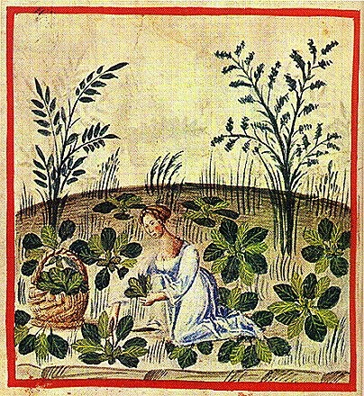 Illustration of a woman harvesting beets. From the late 1300s Tacuinum Sanitatis, a medieval European health handbook based on 11th-century ِArabic book Taqweem al-Sihha تقويم الصحة (Maintenance of Health) by the famous Christian physician and native of Baghdad Ibn Butlan (أبن بطلان)