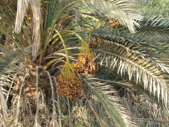 A date palm tree, laden with fruit. Photo: met museum.org