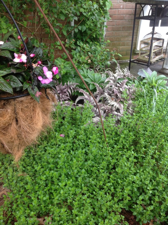 Consider herbs as ground cover. This is oregano but you could plant huge swaths of lemon thyme in the same fashion.