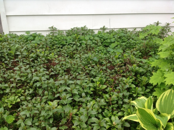 The only ground cover that survives basketball playing: mint. Although it is invasive, it is contained in this bed near the garage door and outdoor playing area of our kids. All types of mint are mosquito deterrent.