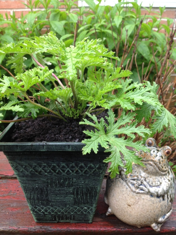Citronella plant: It smells just like the candles and oil. Home Depot sold them also in big hanging baskets practical to hang around an outdoor seating area.