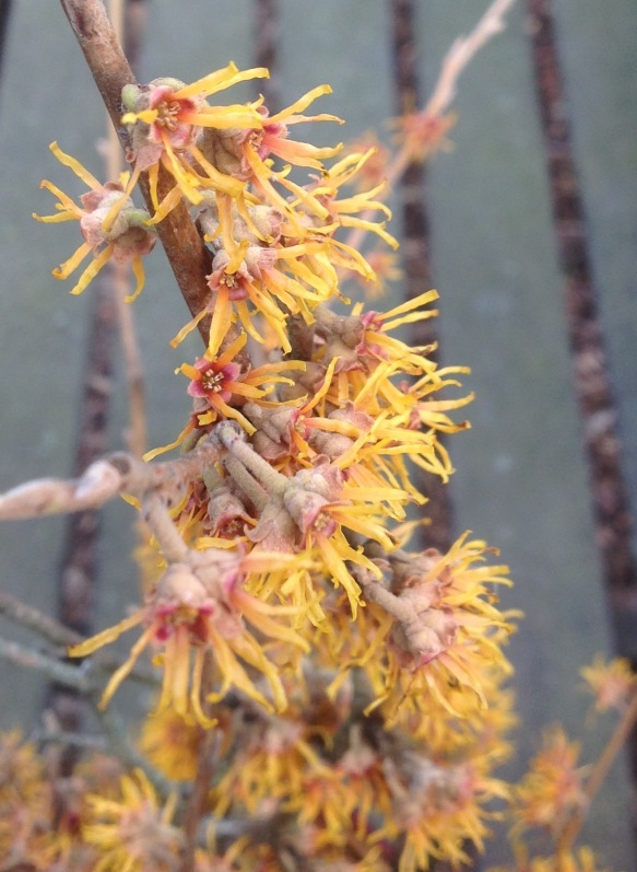 My witch hazel's flowers are golden orange with deep burgundy centers.